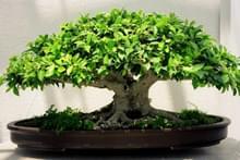 Рослини бонсай