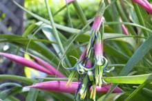 Бромелієві квіти